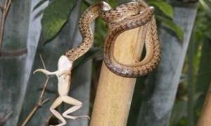 Chu trình ăn thịt ếch sống của rắn.