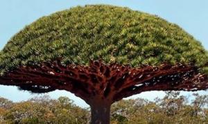 Socotra - vùng đất toàn 'của hiếm'