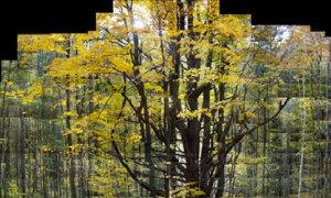 Sừng sững cây cổ thụ hiện ra từ hàng trăm ảnh ghép