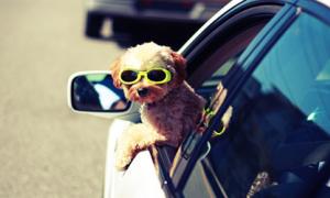 Ảnh cún trên xe hơi cực 'ngầu'