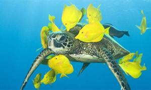 Rùa biển 'đi spa' miễn phí