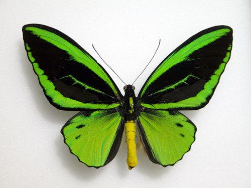 4-ornithoptera-victoriae-362732-13726624