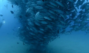 Lốc xoáy cá dưới lòng đại dương