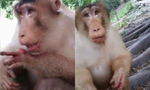 Trò đùa ác khiến chú khỉ khóc nức nở vì mất ngón tay