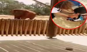 Bé 7 tuổi tử vong vì bị voi ném đá trúng đầu