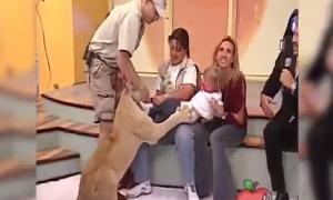 Bé gái khóc thét khi bị sư tử chồm lên ngay trên sóng truyền hình