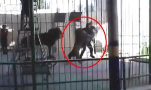 HLV bị sư tử cắn cổ chết khi đang biểu diễn