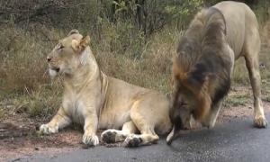 Gạ giao phối ven đường, sư tử đực tẽn tò vì bị con cái đuổi