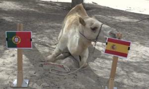 Dàn 'tiên tri' động vật đồng loạt đoán Tây Ban Nha hạ gục Bồ Đào Nha