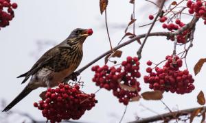 Hàng loạt chim 'say rượu' gây náo loạn ở Mỹ