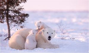 Bạn có biết màu da của gấu Bắc Cực?
