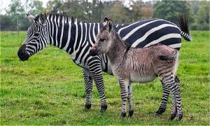 Lừa và ngựa vằn có con với nhau, baby của chúng trông như thế nào?