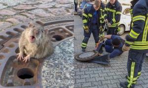 Cả đội cứu hỏa được huy động để cứu một con chuột béo