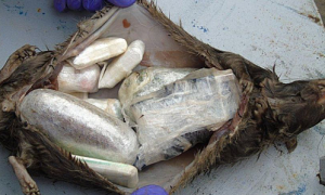Chuột chết bị biến thành công cụ vận chuyển ma túy ở Anh