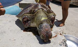 Rùa biển bị cắt vây, xác dạt vào bờ ở Ninh Thuận