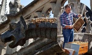 Số phận 180.000 con ong được nuôi trên mái Nhà thờ Đức Bà Paris