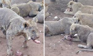 Số phận thảm thương của những chú sư tử ở Nam Phi