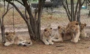 Bé gái 4 tuổi bị tấn công khi cố vuốt đầu sư tử