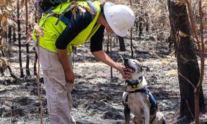 Chó cứu koala bị thương trong vụ cháy rừng Australia