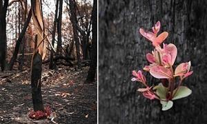 Chồi non mọc giữa rừng cháy Australia
