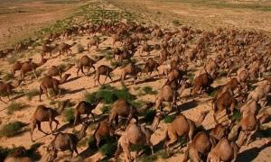 Bi kịch của Australia: Dùng trực thăng giết 10.000 lạc đà
