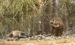 Koala ôm mặt ngồi bên xác đồng loại