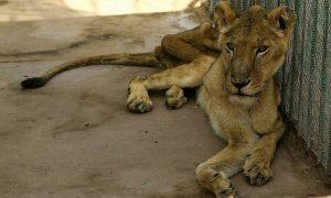 Sư tử gầy trơ xương trong công viên