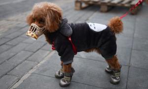 Vì sao con chó ở Hong Kong dương tính nCoV nhưng không nhiễm bệnh?