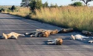Đàn sư tử tràn ra đường ngủ trưa vì không bóng người