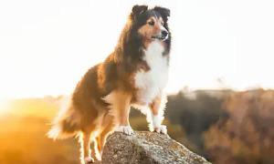 Đố 'sen' biết 'boss' này là giống chó nào?