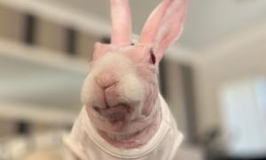 Thỏ hồng không lông nổi tiếng nhất thế giới
