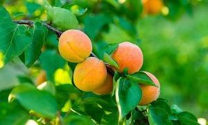 'Thánh hoa quả' mới biết 7 loại quả này