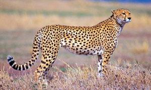 Báo săn có 2000 đốm đen?