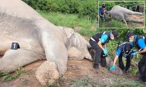 Tìm thức ăn ở vườn xoài, voi bị điện giật chết