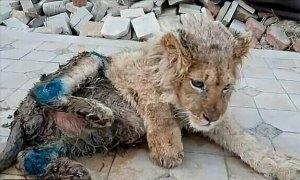Sư tử bị bẻ gãy chân để khách du lịch chụp ảnh