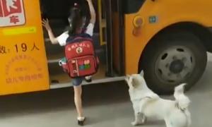 Chú chó đưa đón cô chủ đi học mỗi ngày
