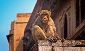 Khỉ nghiện rượu 'nổi điên' khiến 1 người chết, 250 người bị thương