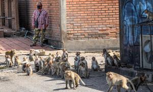 Khỉ 'bùng nổ dân số' vì Covid-19