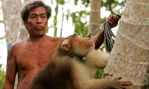 Cuộc đời 'khỉ nô lệ': ngày hái 1.000 quả dừa