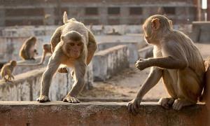 Khỉ nhảy làm sập tường, 5 người chết