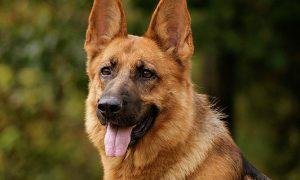 Con chó nhiễm nCoV đầu tiên ở Mỹ đã chết