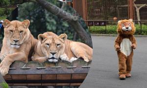 Sư tử thật xem 'đồng đội nhái' sổng chuồng