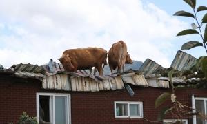 Bò kẹt trên mái nhà sau bão