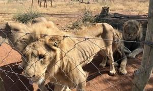 Sư tử trơ xương được giải cứu khỏi trang trại tồi tàn