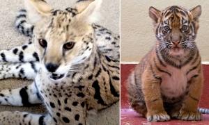 Bỏ 6.000 euro mua mèo cảnh online, hàng nhận được lại là hổ con