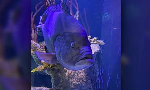 Cá mú bị trầm cảm vì cô đơn sau khi ăn thịt hết bạn bè trong bể