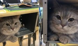 Khoảnh khắc dễ thương: Mèo nằm ngoan trong hộc bàn khi đi 'học chui'