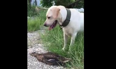 Vịt nằm im giả chết rồi thoát thân khi bị chó tấn công