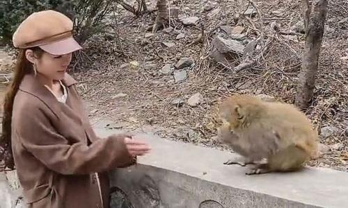 Đang cho khỉ ăn, cô gái bị giật bay tóc giả